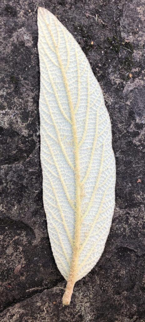 Viburnum rhytidophyllum: leaf, lower surface
