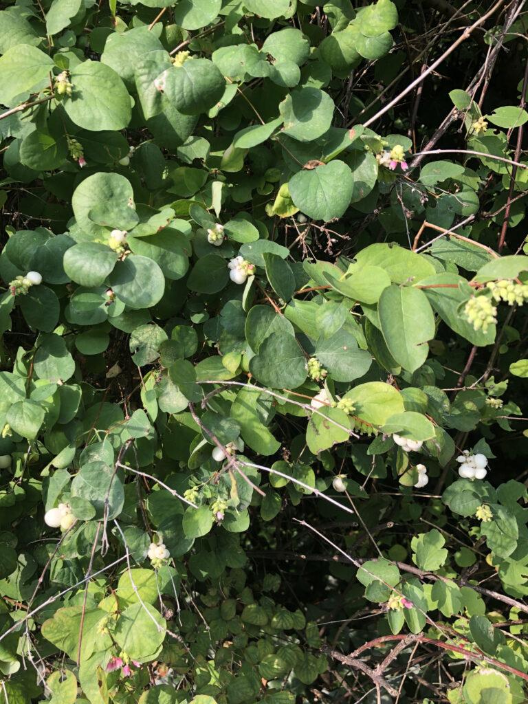 Symphoricarpos albus: fruiting shrub