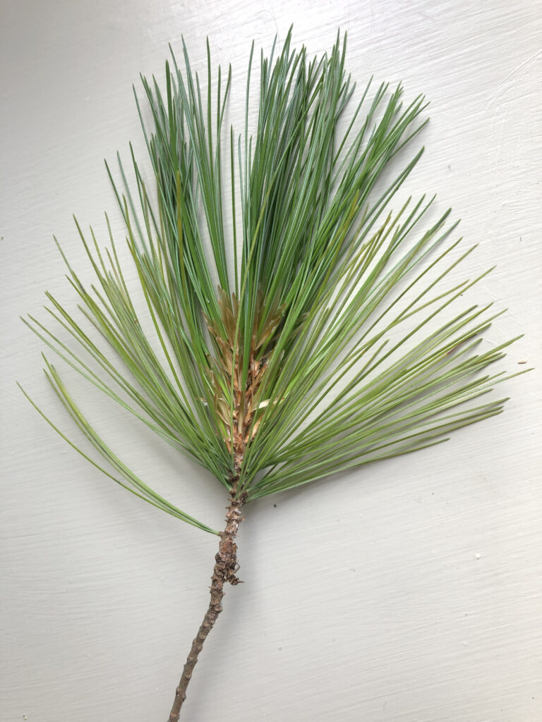 Pinus wallichiana: leaves