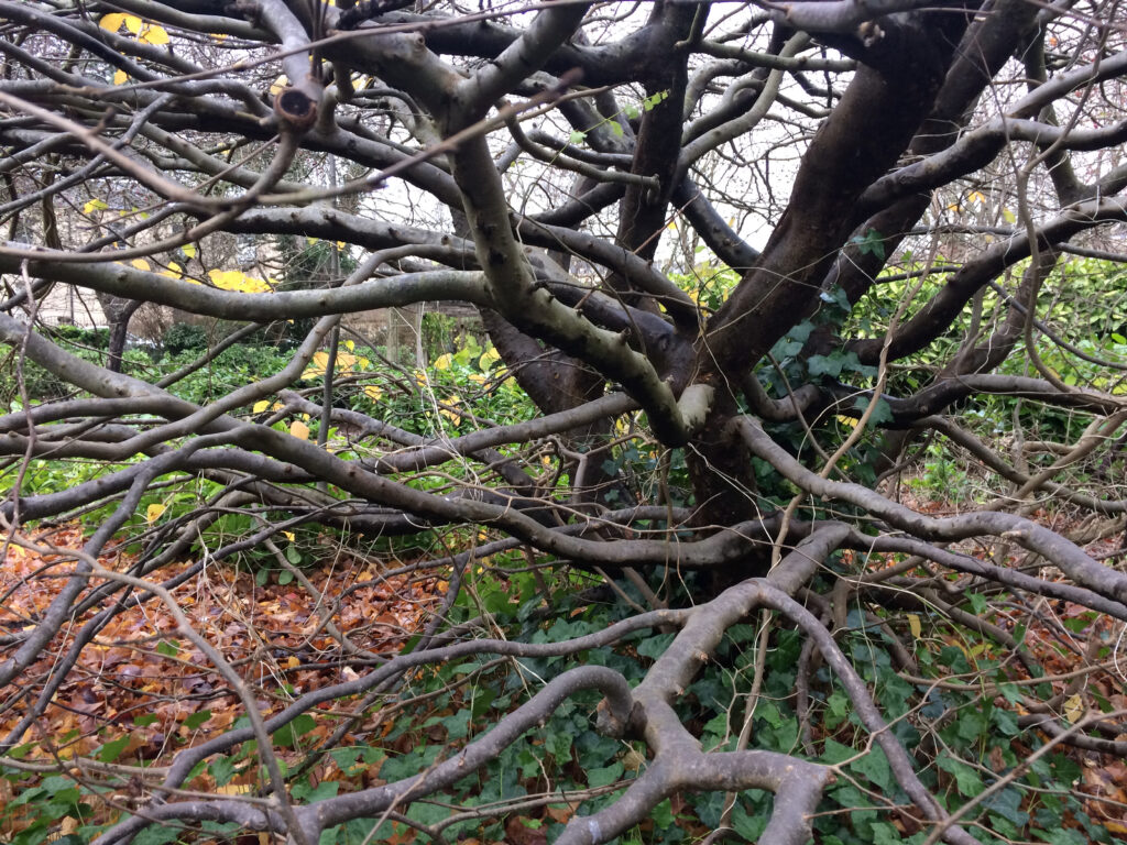 Parottia persica: shrub in winter