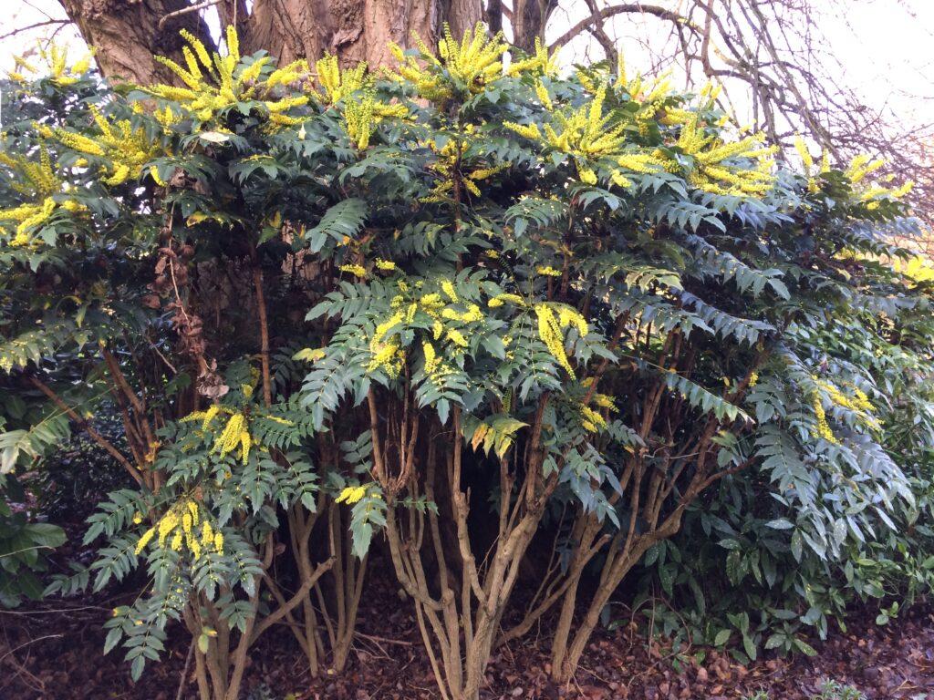 Mahonia x media : shrub in flower