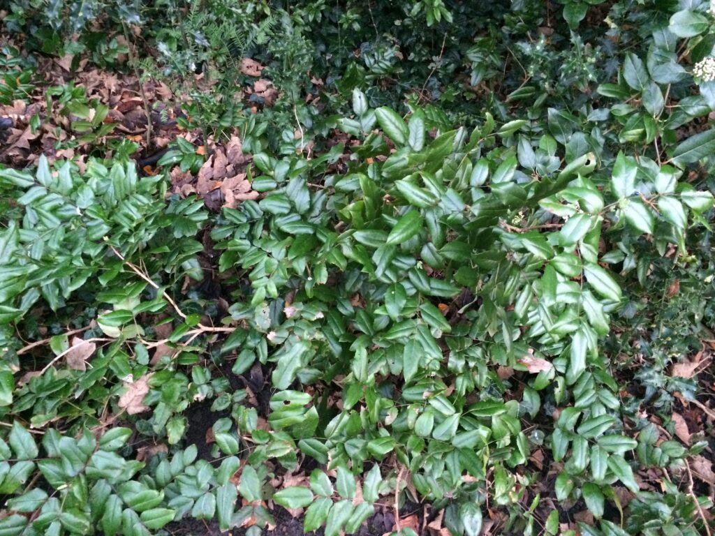 Mahonia pumila: shrub