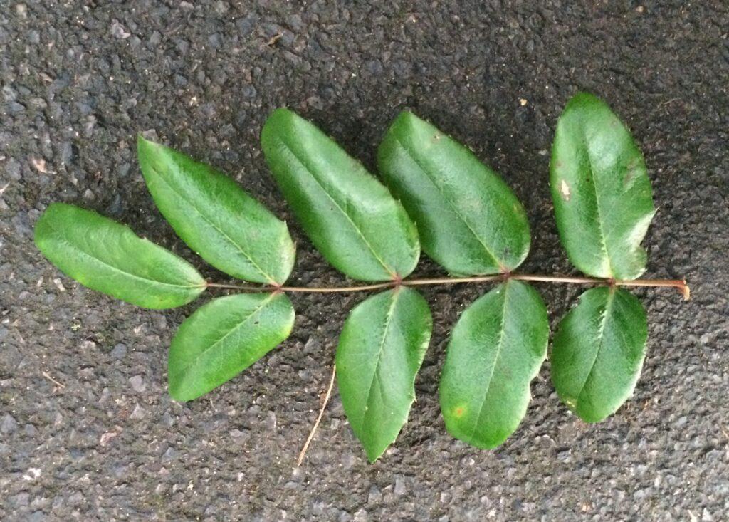 Mahonia pumila: leaf, upper surface