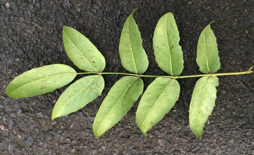 Mahonia pumila: leaf, lower surface