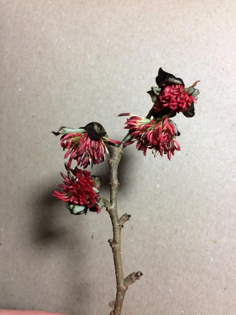 Parottia persica: flowers
