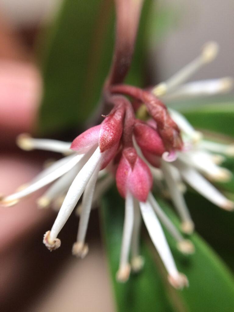 Sarcococca hookeriana : flowers