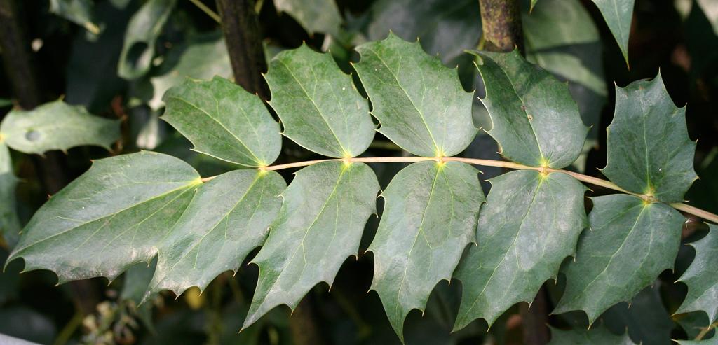 Mahonia x media: leaf