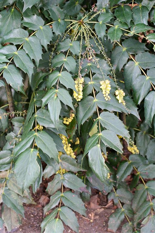 Mahonia x media: flowering shoot