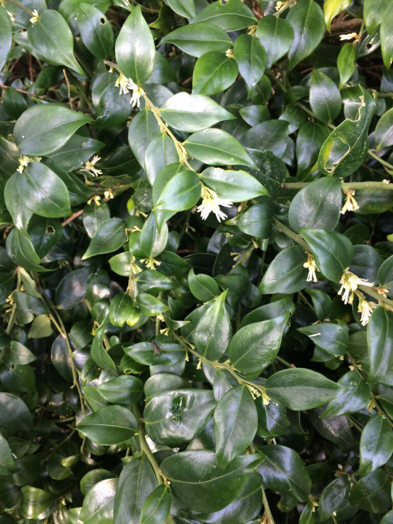 Sarcococca confusa: flowering shoots