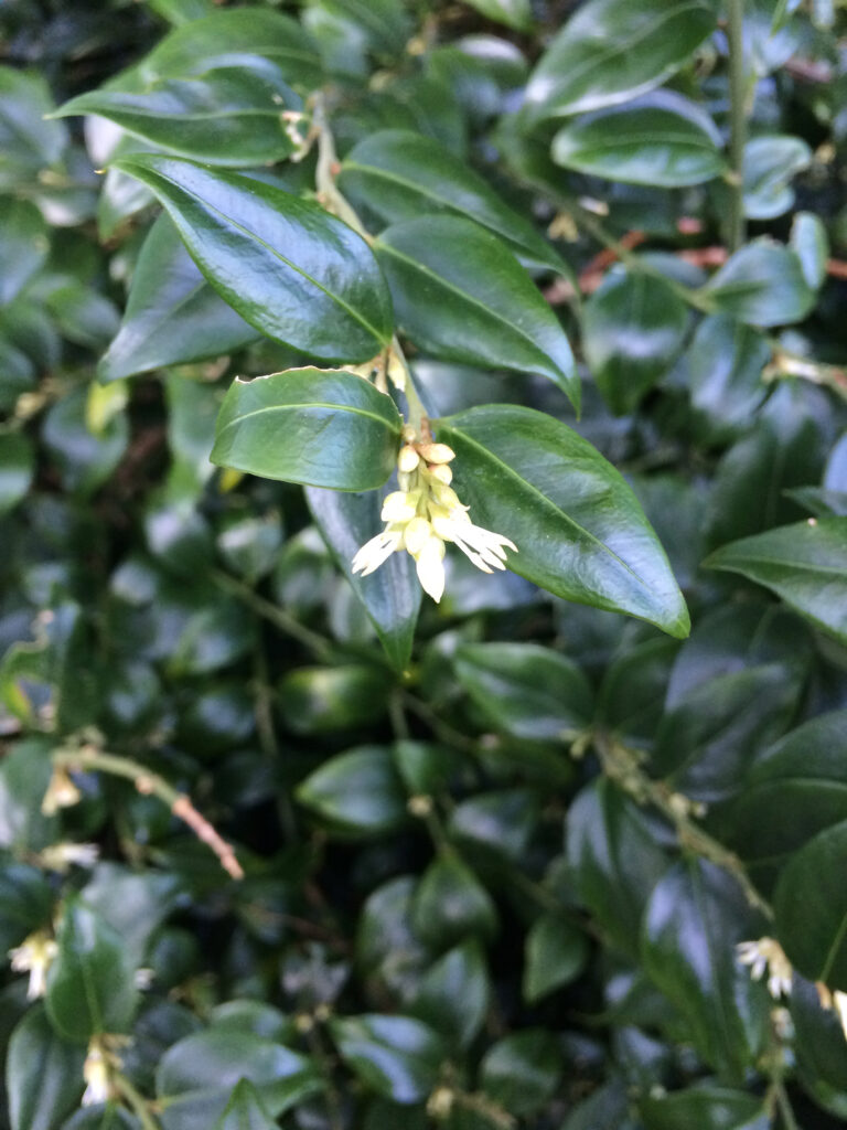 Sarcococca confusa: flowers