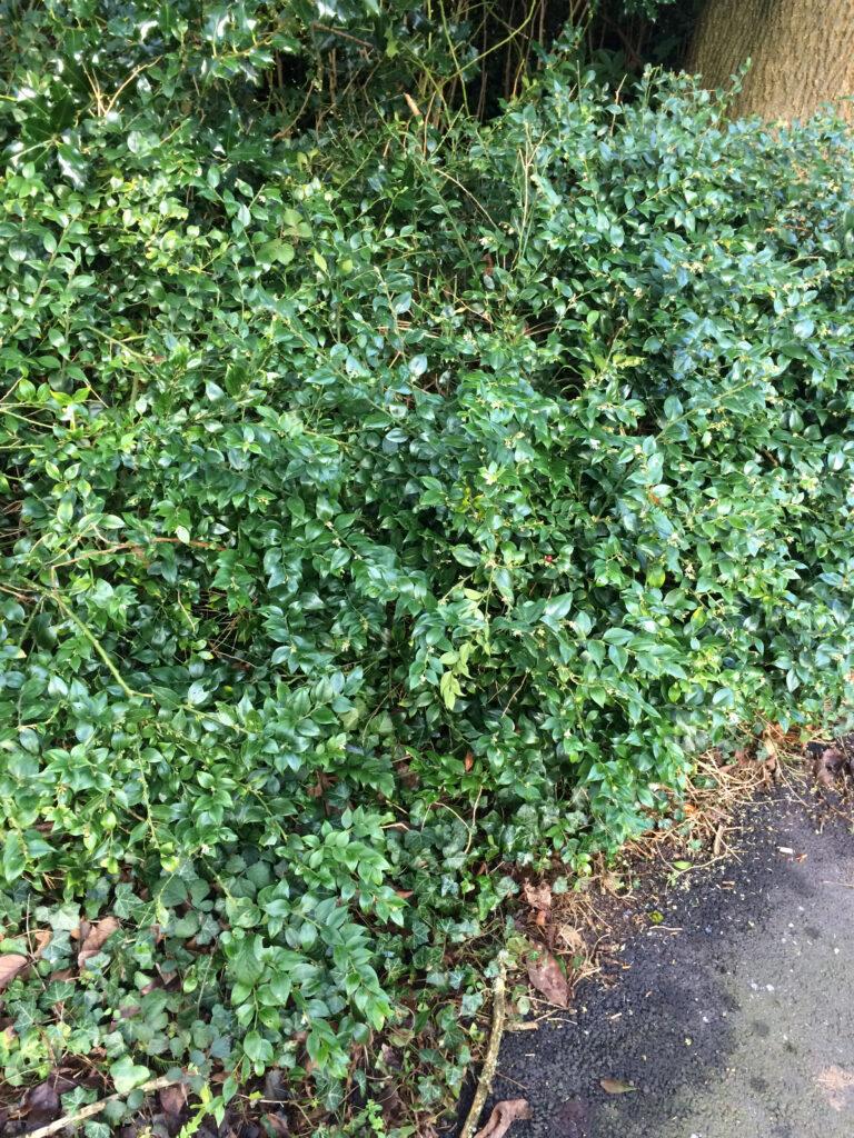 Sarcococca confusa: shrub